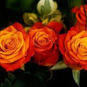 Beautiful Orange Roses