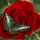 Beautiful red rose and butterfly