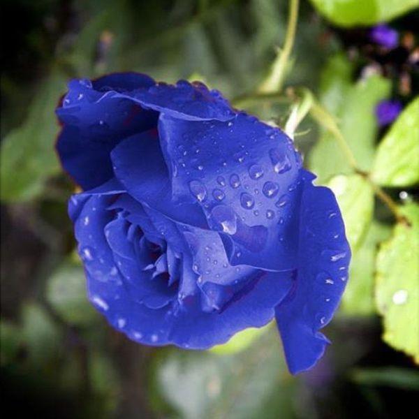 Amazing blue rose - photo#10