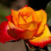 Yellow Red Rose