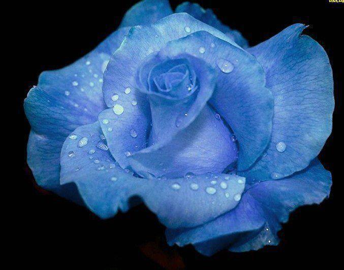 Amazing blue rose - photo#4
