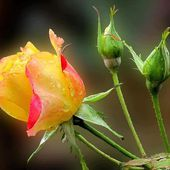 Red & Yellow Rose with Buds