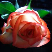 Lovely two colored rose