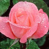 Single pink rose with raindrops