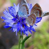 Butterflies on a blue flower