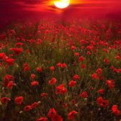 Sunset over Poppy Field, Southern England