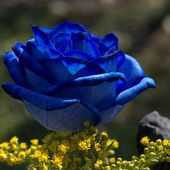 Amazing blue rose