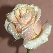 Tea Rose with Water Drops