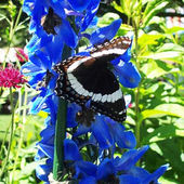 White Admiral Butterfly on a Blue Flower