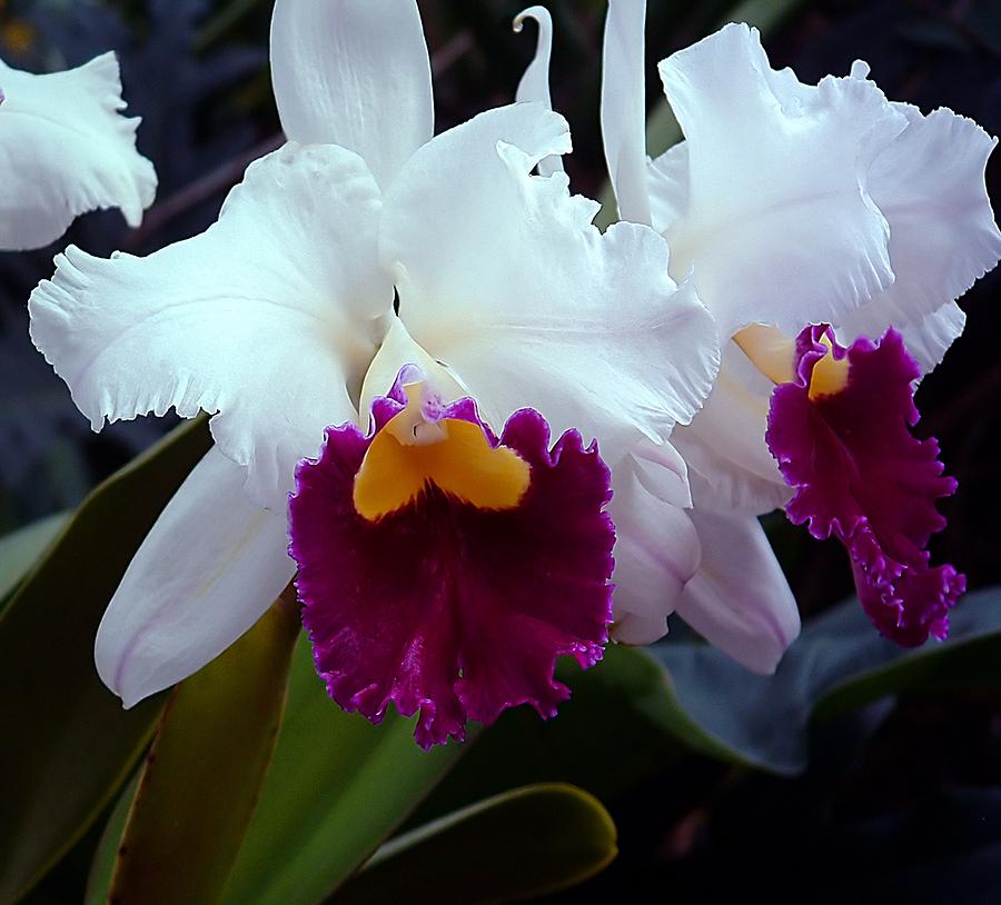 White purple cattleya orchid for Orchidea cattleya