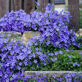 Lovely Campanula border