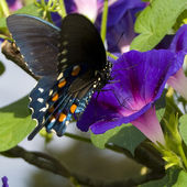 A butterfly on Morning Glory