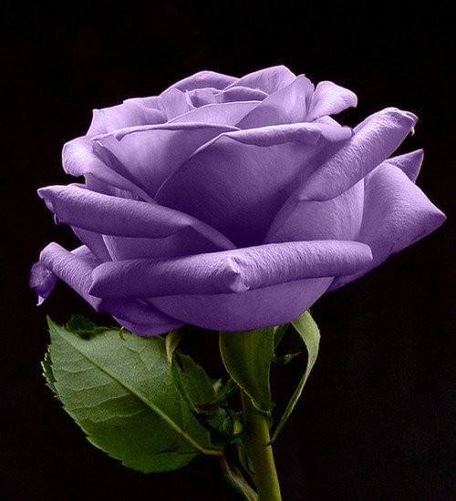 Single lavender rose