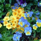 Yellow and blue spring flowers