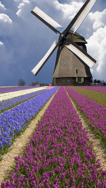 Windmill and Flower, the Netherlands