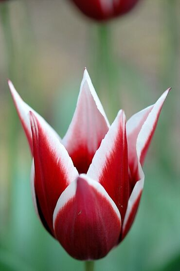 Awesome Tulip