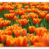 Orange Tulips Spring Flowers