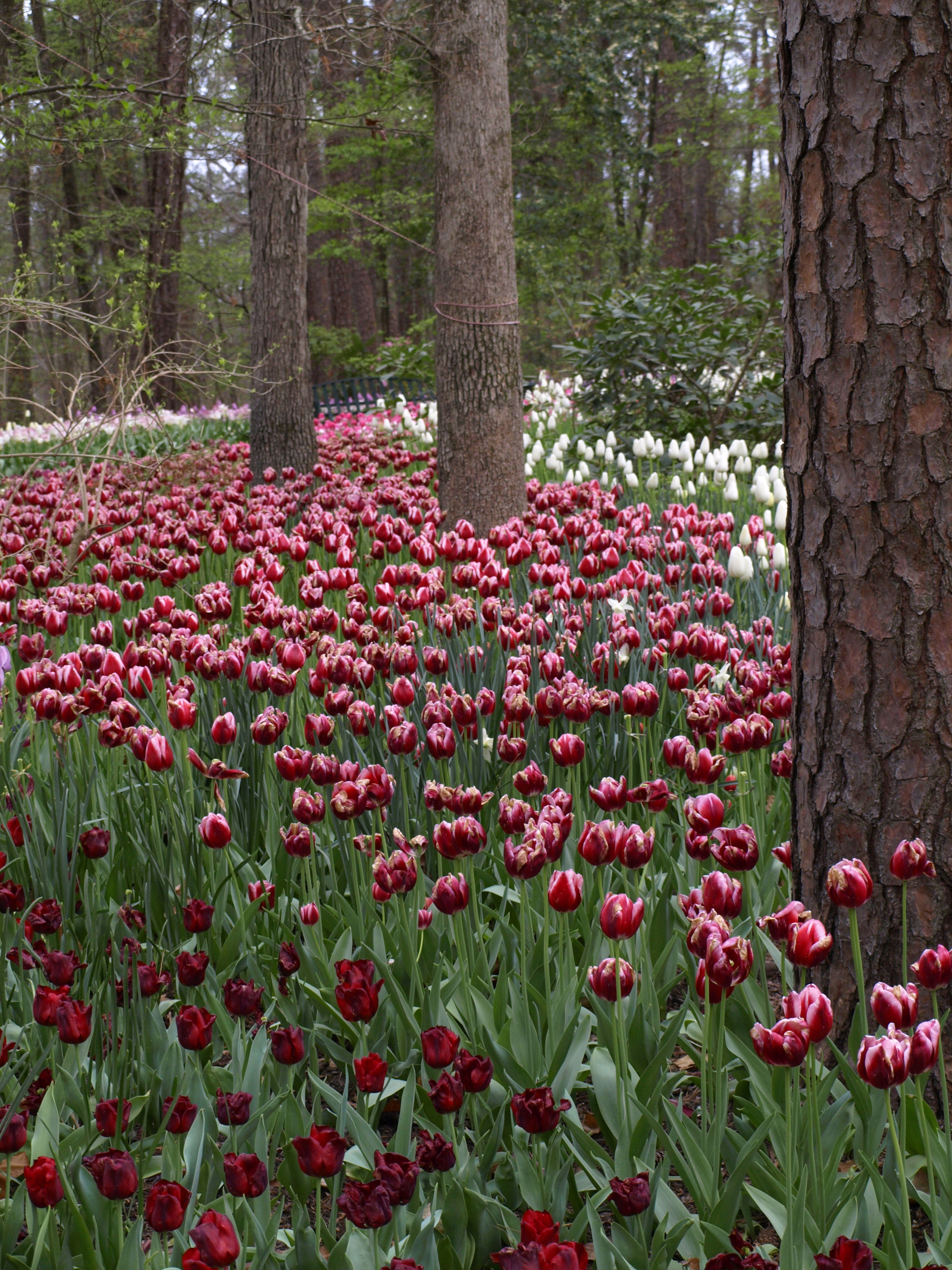 Tulips Garvan Gardens Hot Springs Arkansas