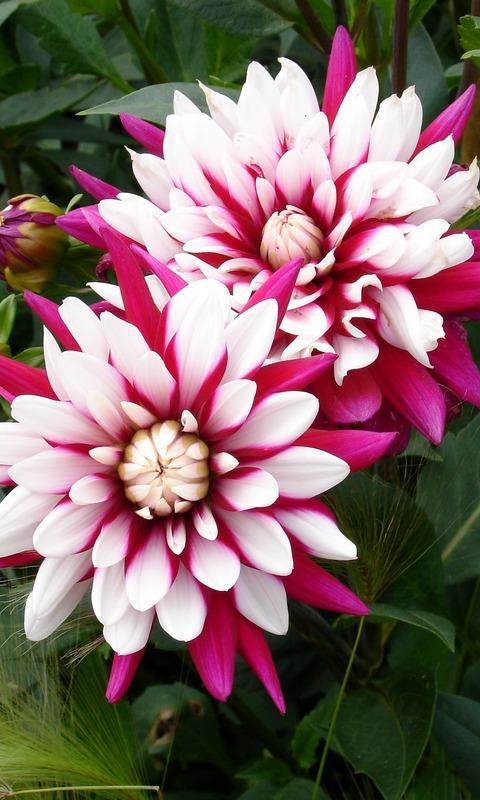 Two Colored Dahlia