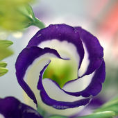 Eustoma Echo Blue flower
