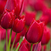 Pink Tulips Bloom