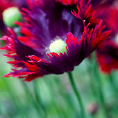 Poppy Burgundy Frills