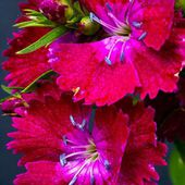 Awesome Dianthus