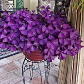 Oxalis Purple Clover