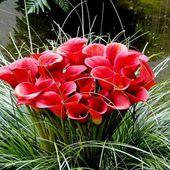 Beautiful Red Calla Lilies