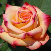 Two colored rose