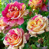 Beautiful Striped Roses