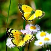 Yellow butterflies and white flowers