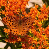 Beautiful Butterfly on Asclepias tuberosa