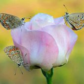 Three Butterflies on a Rose