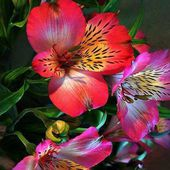 Colorful Alstroemeria