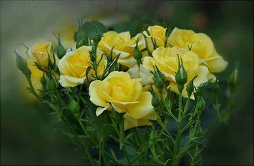 Bunch of Yellow Roses