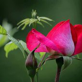Beautiful fresh rose with bud