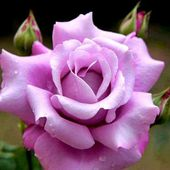 Single lavender rose with buds