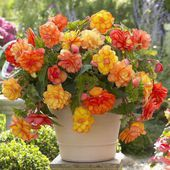 Begonia, Golden Balcony