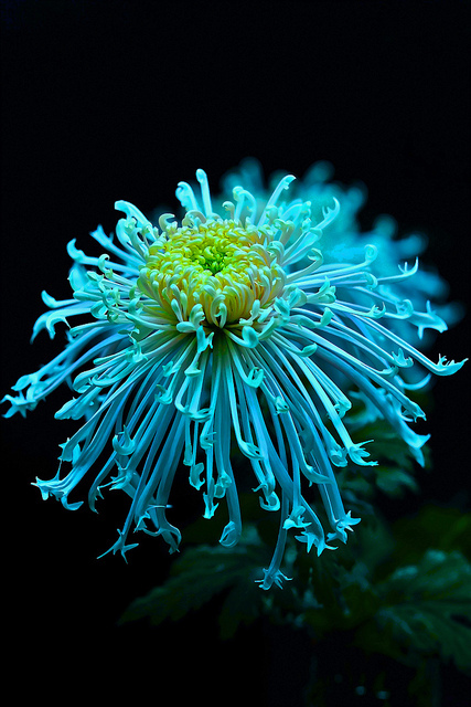 Awesome Chrysanthemum
