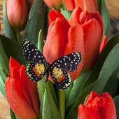 Orange Tulips and Butterfly