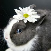Daisy Rabbit