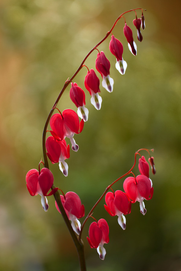 Bleeding Hearts (Dicentra Spectabilis)