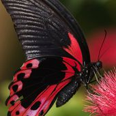 Crimson Swallowtail Butterfly