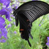 Spangle Butterfly (Papilio protenor)