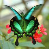 The Emerald Swallowtail Butterfly