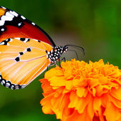 Butterfly on an orange flower