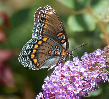 The Red-Spotted Purple, or Limenitis arthemis
