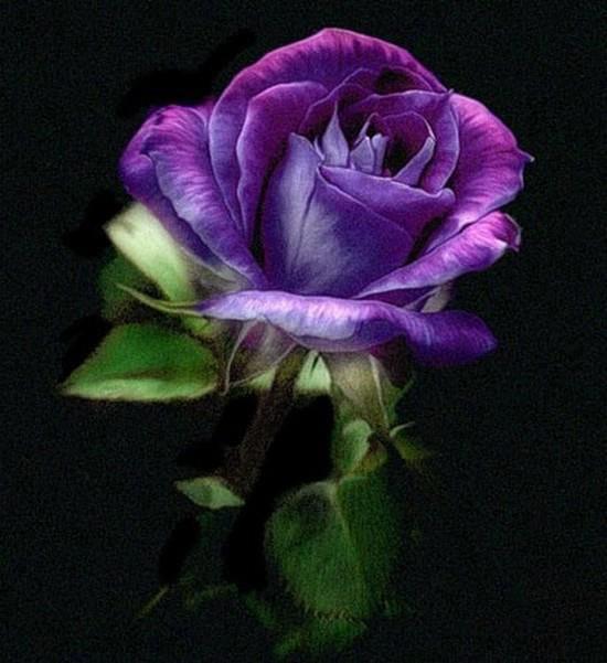 Amazing purple rose for Purple rose pictures