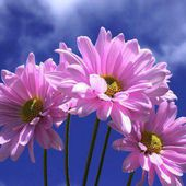 Beautiful Pink Daisies